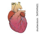 heart   anatomy picture   Shutterstock .eps vector #569349601
