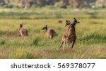 Kangaroo Fighting In Mating...