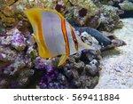 butterfly fish tweezers ... | Shutterstock . vector #569411884