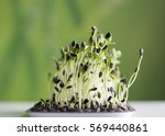 sunflower sprouts in tray  | Shutterstock . vector #569440861