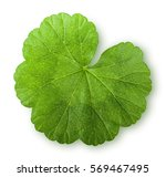 Green Juicy Leaf Geranium Top...