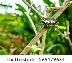 lime butterfly  papilio... | Shutterstock . vector #569479684
