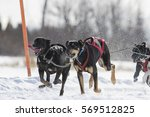 dog sledding race in quebec ... | Shutterstock . vector #569512825