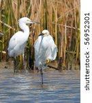 Snowy Egrets In A Gulf Coast...