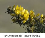 Common Gorse   Ulex Europaeus ...