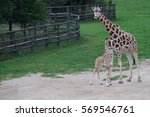 Baby Giraffe With Mother...