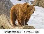 montana grizzly bear | Shutterstock . vector #569588431
