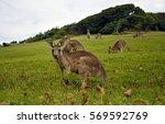 kangaroos near a pacific beach... | Shutterstock . vector #569592769