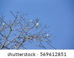 Small photo of Abscission. A tree dropping old leaves and having new leaves in winter, Thailand