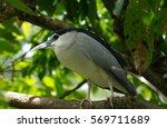 Night Heron Or Burung Pucong...