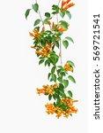 flame vine  pyrostegia venusta  ... | Shutterstock . vector #569721541