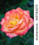 Beautiful Two Tone Rose...
