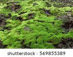 Close Up Moss On Rock In Rain...