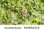 red throated pipit in the the... | Shutterstock . vector #569896315