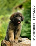Leonberger  Puppy 8 Weeks Play...
