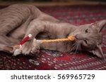 Stock photo lilac oriental short hair cat playing with toys on a persian rug 569965729