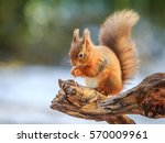 Red squirrel feeding in winter  ...