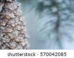 Frozen Coniferous Branches Wit...