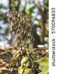 Small photo of Air plant or cathedral bells, Bryophyllum pinnatum or Kalanchoe pinnata