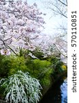 Small photo of Cherry Blossoms and Spiraea on Philosopher's Walk, Kyoto, Japan