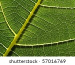 closeup of green autumn whit... | Shutterstock . vector #57016769