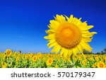 Closeup Sunflower With Blue Sky