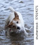 This is a Rat Terrier Shaking the water off after swimming - stock photo