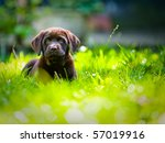 Stock photo cute labrador puppy in green grass on a summer day 57019916