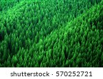 Forest Of Pine Trees In...