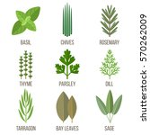 Vector Set Of Culinary Herbs...