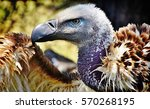 Stock photo close up of large brown cape vulture 570268195