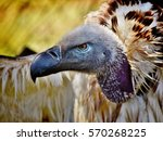 Stock photo close up of large brown cape vulture 570268225