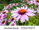 closeup photo of a beautiful... | Shutterstock . vector #570275377