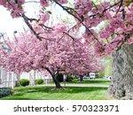 sakura tree in washington  usa  ... | Shutterstock . vector #570323371