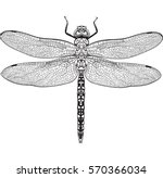 Stock vector top view of dragonfly with transparent wings sketch illustration isolated on white background 570366034