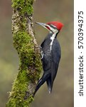 Pileated Woodpecker  Dryocopus...