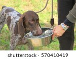 german shorthaired pointer... | Shutterstock . vector #570410419