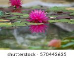 waterlily reflection | Shutterstock . vector #570443635