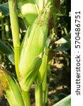 fresh green corn cob hanging on ... | Shutterstock . vector #570486751