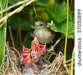 Garden Warbler  Sylvia Borin ...