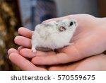 little gray fluffy hamster...   Shutterstock . vector #570559675