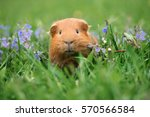 Adorable Guinea Pig Posing On...