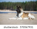 american akita dog lying down... | Shutterstock . vector #570567931