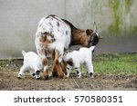 goat and goat kid  on straw in... | Shutterstock . vector #570580351