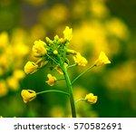 Rapeseed Flower   Shallow Dof