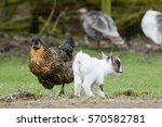 Chicken And Goat Kid Standing...