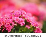 flower in pink | Shutterstock . vector #570585271