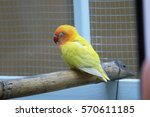 colorful little yellow parrot... | Shutterstock . vector #570611185