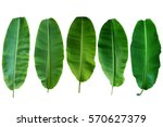 Five Banana Leaf Isolated On...