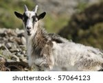 young wild cheviot goat at... | Shutterstock . vector #57064123